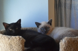 Siamese and Black b s